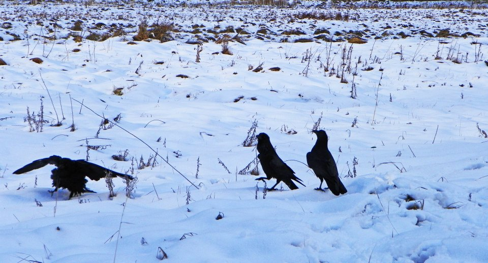 Three Ravens in snow