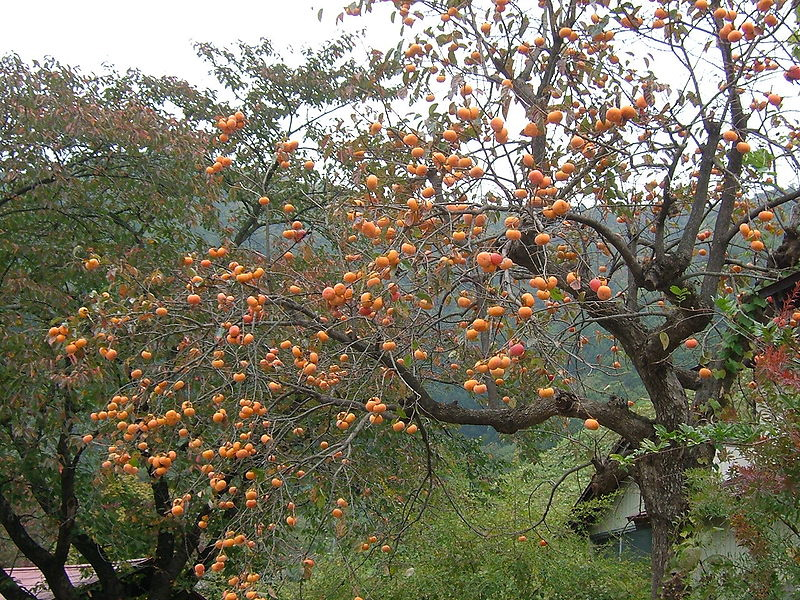 persimmon tree Japan